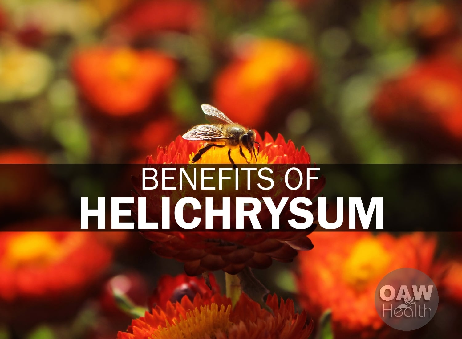 22 Benefits of Helichrysum