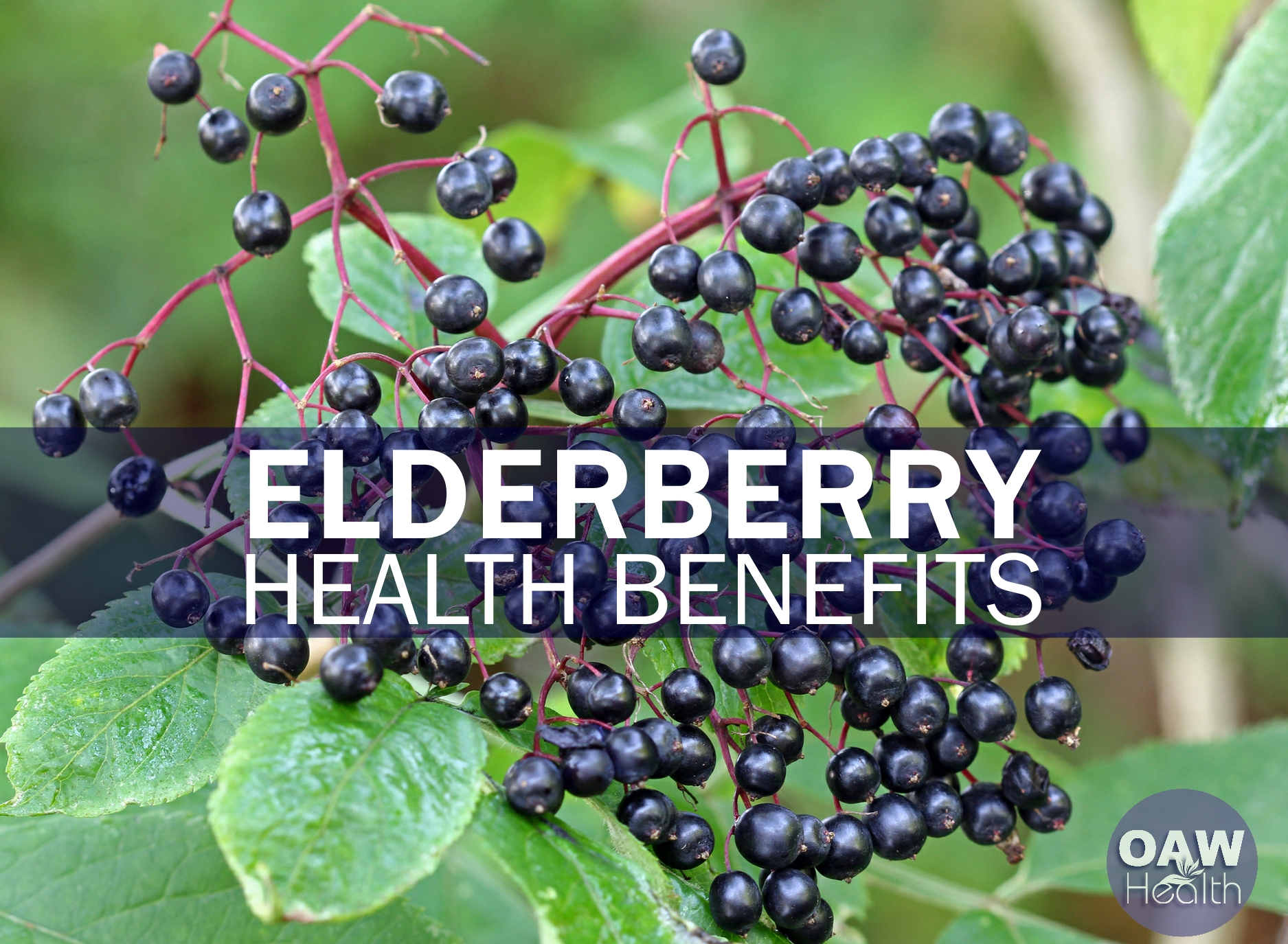 Incredible Health Benefits of Elderberry