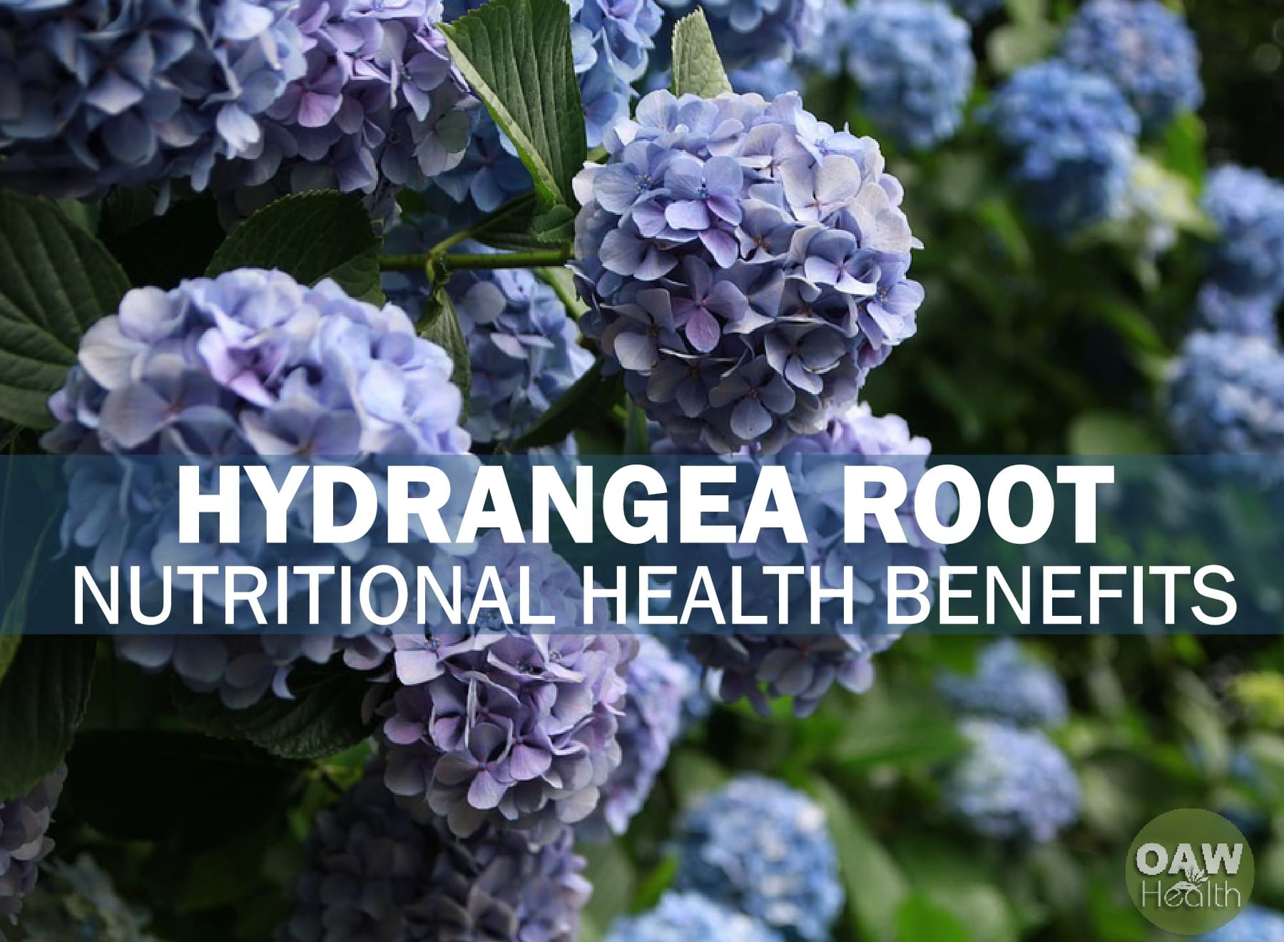 Hydrangea Root: Nutritional Health Benefits